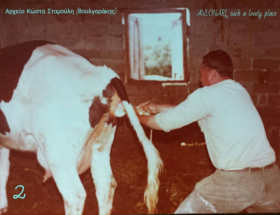 Οι σπάνιες αυτές φωτογραφίες, δείχνουν την προσπάθεια, την αγωνία, αλλά και την χαρά για την επιτυχή γέννηση της αγελαδίτσας στο Αυλωνάρι.