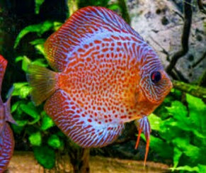 discus pearl pigeon