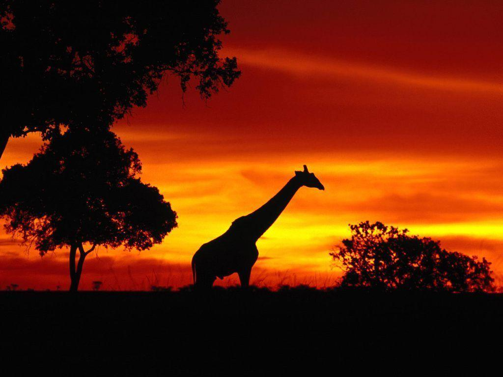 Animals For > African Animals Sunset Wallpapers Nature HD Wallpapers