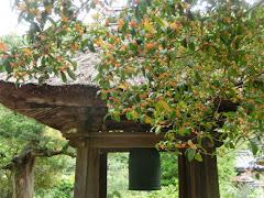 円応寺のキンモクセイ