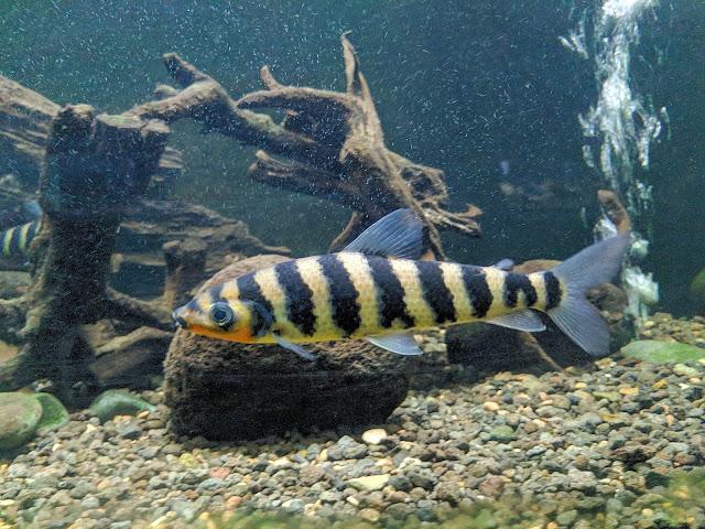 Mengenal Ikan Leporinus Fasciatus Si Ikan Kaos Kaki dan Harganya