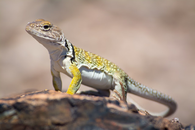 Sonoran Collared Lizard, Petrified Forest National Park