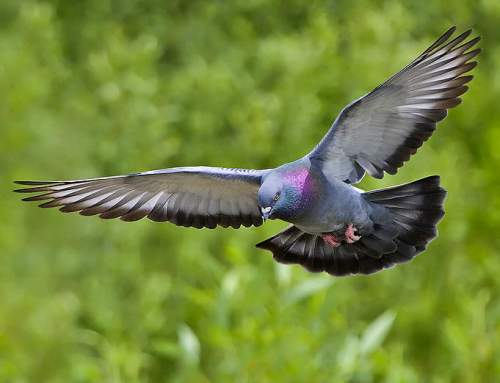Indian birds - Rock dove - Columba livia