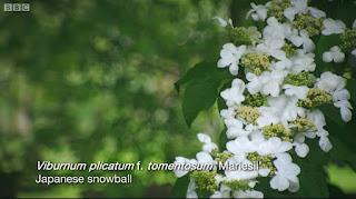 Viburnum Plicatum Mariesil