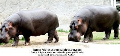 Foto de hipopótamos paseando en el Parque de las Leyendas. Foto de hipopótamos de Jesus Gómez