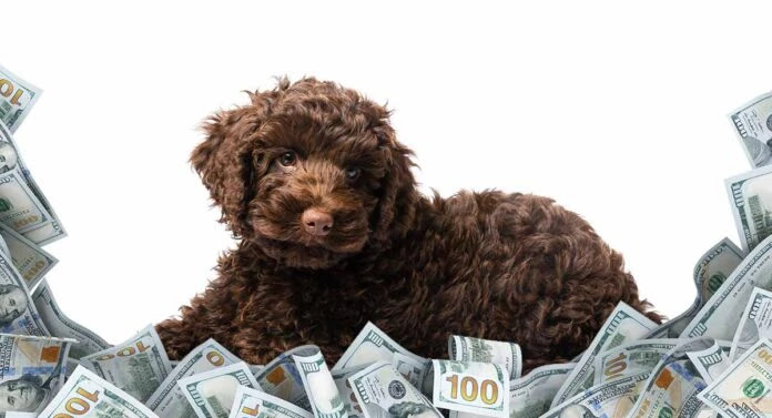How-much-does-a-labradoodle-cost