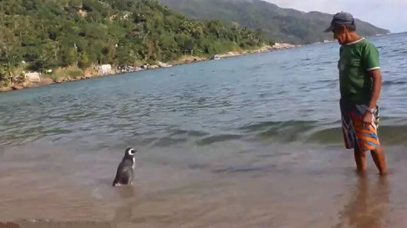 Penguin Swims 8,000KM Every Year Just To See The Man Who Saved His Life