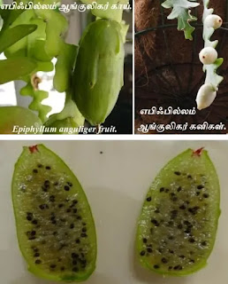 Epiphyllum anguliger fruit