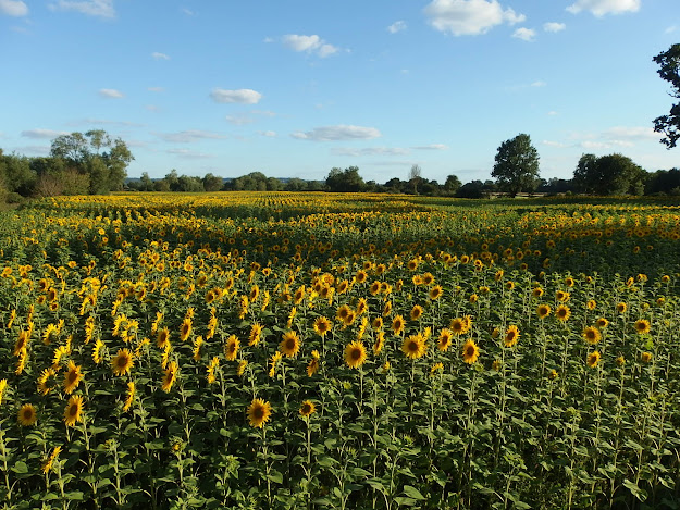 View of the sunflowers from Kellaways Arches
