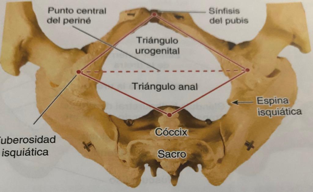 perineo triangulo anterior y posterior