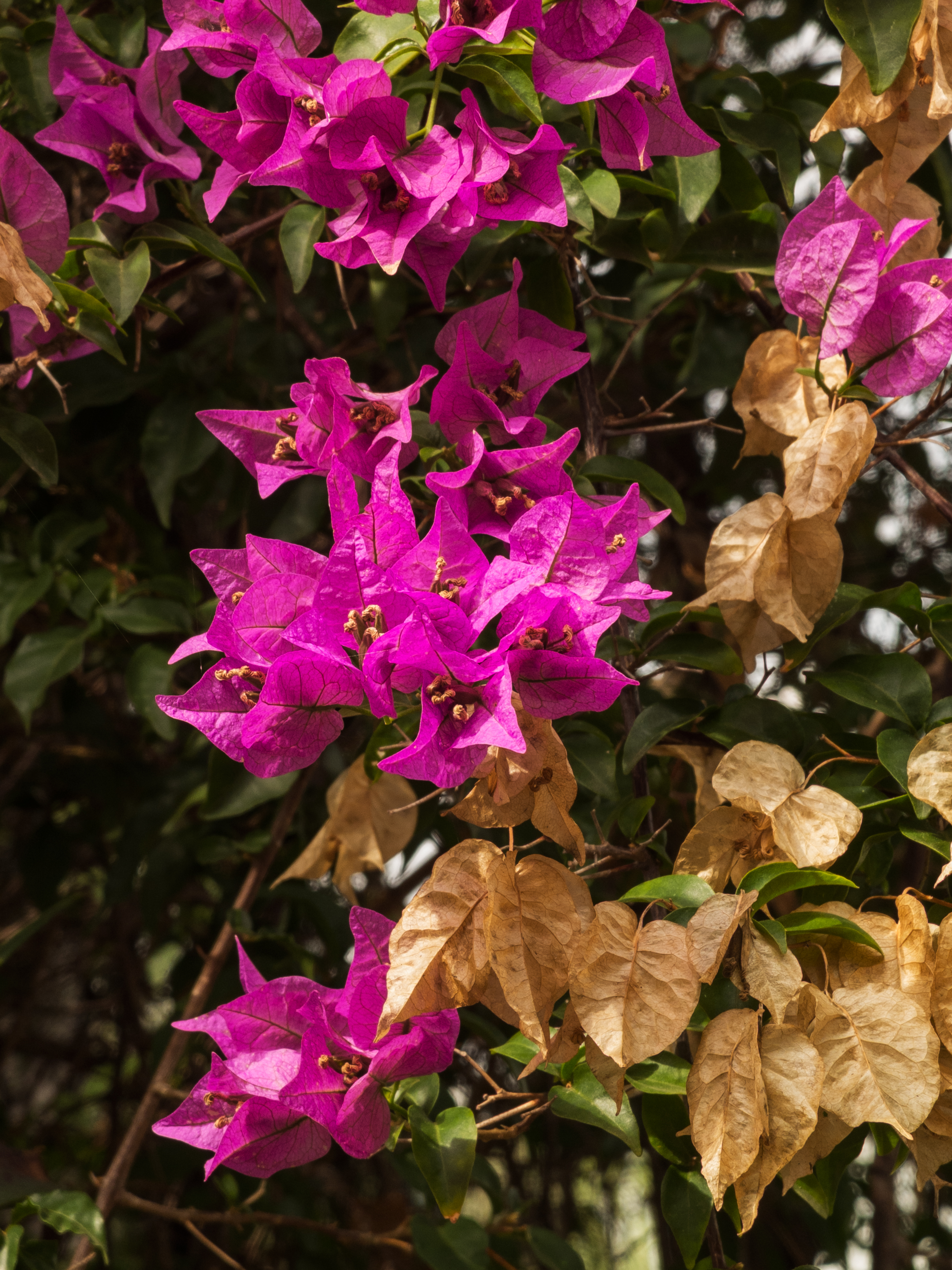 A close up of pink Bougainvillea flowers from Gibraltar.