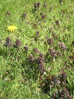 medicinal herbs, bugle, fleetneedles forage, life on pig row