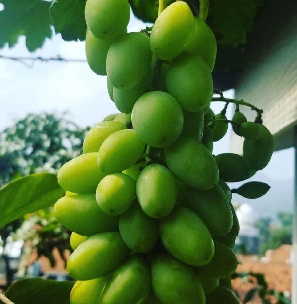 Bibit anggur dixon VALID Kota Administrasi Jakarta Utara