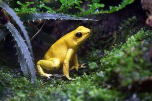 Zehirli Ok Kurbağası animal