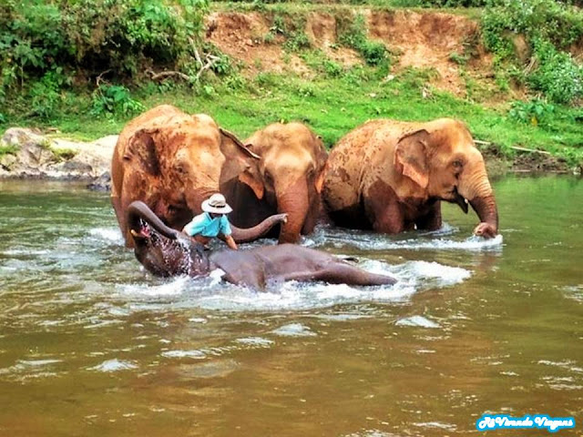 elefantes tomando banho de rio no Elephant Nature Park