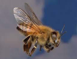 Lebah madu Afrika