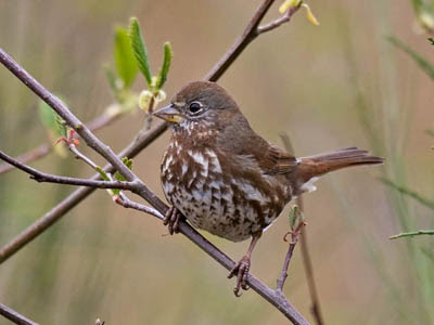 Photo of a Sooty Fox Sparrow in a willow thicket