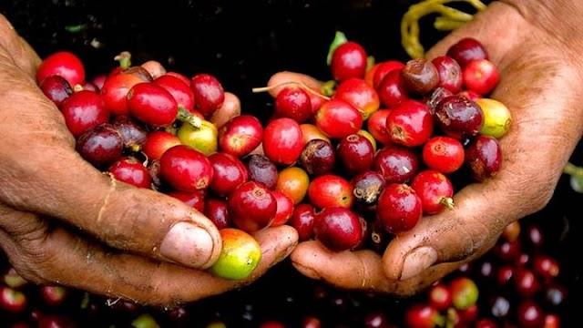 Giá cà phê hôm nay 10/6: Đồng loạt giảm 200 đồng/kg