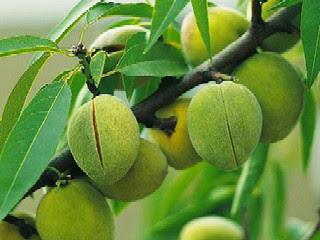 perbedaan-buah-almond.jpg