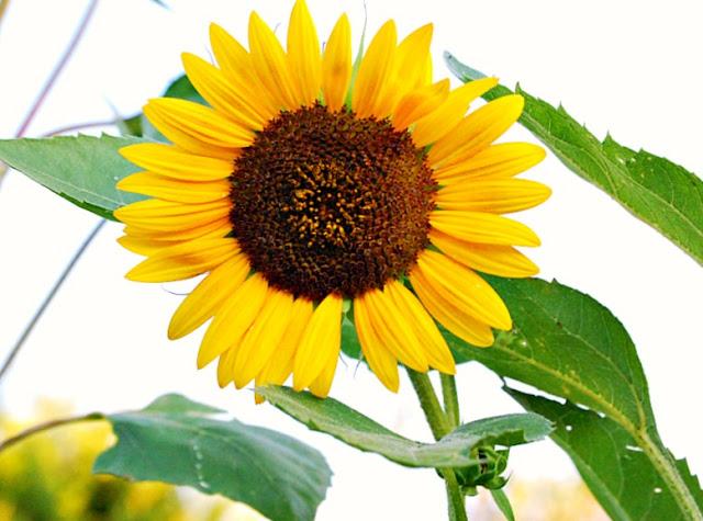 Sunnydell, flower, flowers, farming, athomewithjemma