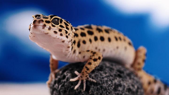 leopard gecko cute