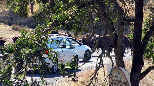 A buffalo roadblock at Oregon's Wildlife Safari...
