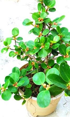 green island ficus in pot