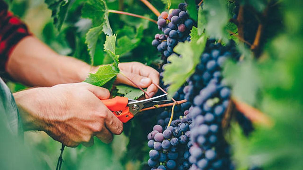 Panen Buah Anggur