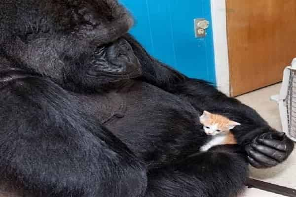 Koko, the signing gorilla, requested a pet dog cat and called the tail-less kitteh All Ball, signed ridiculous pet cat when it bit her, and regretted when it passed away
