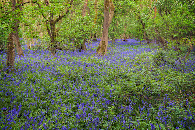 Vibrant blues and greens of a spring woodland in Brampton Wood Nature Reserve