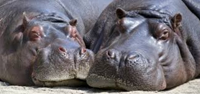 18. Hippopotamus are one of the most dangerous animals in Africa and are around 6 feet tall weighing upwards of 8,000 pounds