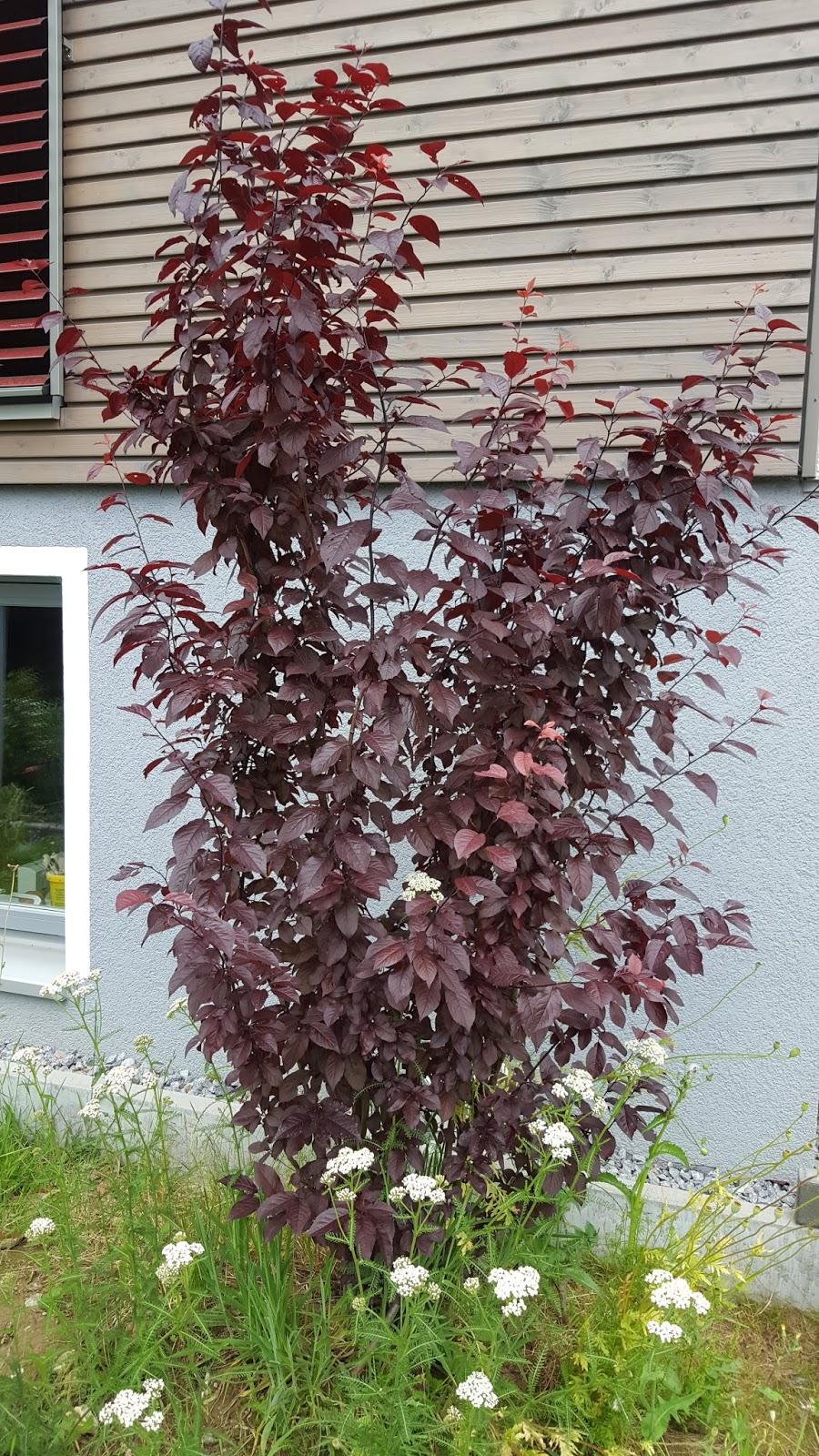 Filz & Faden: Färben : Blutpflaumenblätter