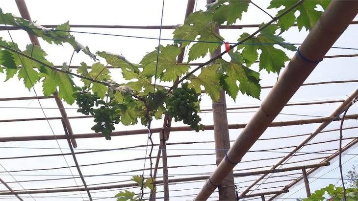 Bibit Anggur Import Everest Bibit Berkualitas ASLI Banten