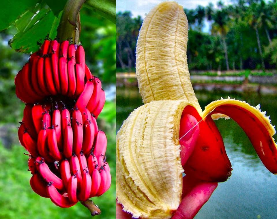 Kırmızı Muz Nasıl Bir Meyvedir Anamurda Yetişir Mi Son Dakika