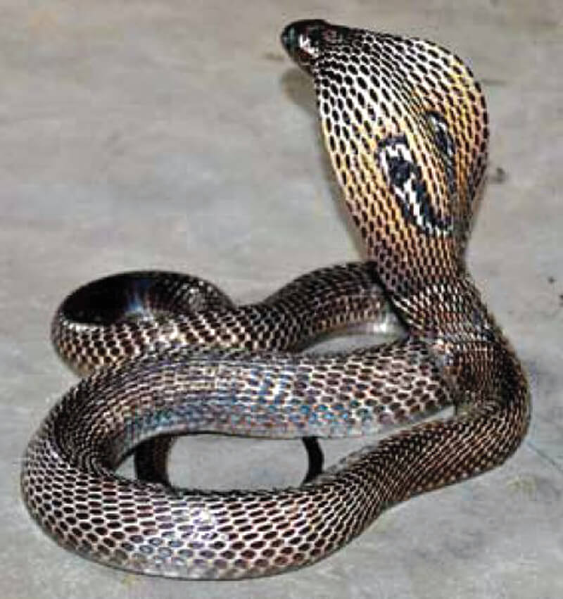 Snakes of Medical Importance in Nepal