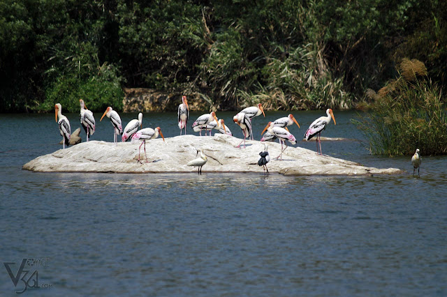 A mustering of storks along with Spoonbills