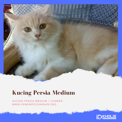 Jenis Kucing Persia Medium