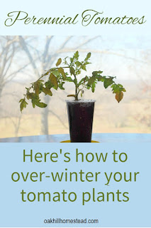 Did you know that tomatoes are perennials in warm climates? Here's how you can over-winter your tomato plants indoors and plant them again in spring.