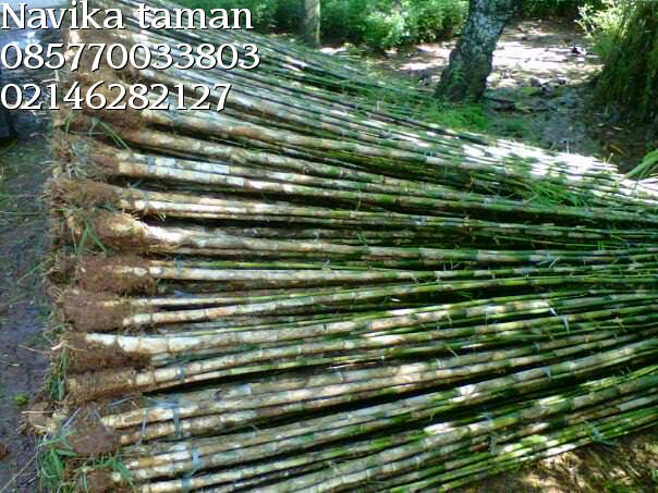 POHON BAMBU TANAMAN PAGAR | JASA TUKANG TAMAN | DESAIN LANDSCAPE