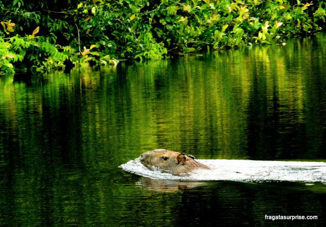 Capivara atravessa o Rio Pixaim, no Pantanal do Mato Grosso