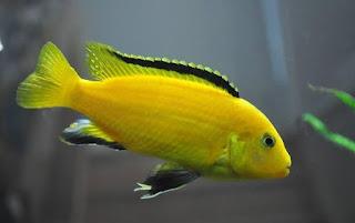 Gambar Ikan Lemon atau Elесtrіс yellow cichlid