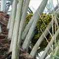 Langka, Ada Pohon Kurma Berbuah di Pulau Kayuadi