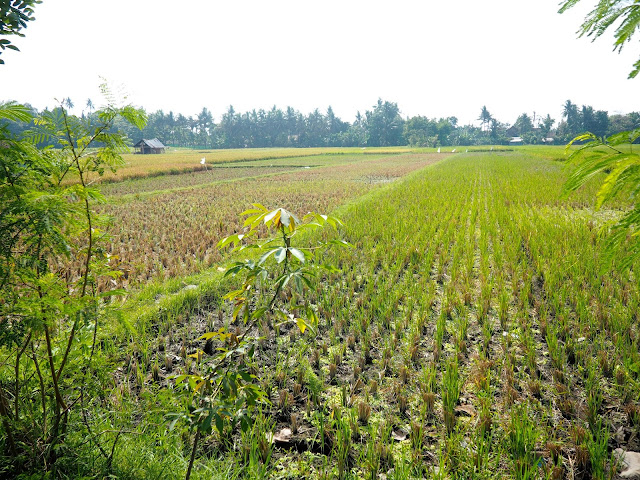Rice fields outside Yogyakarta, Java, Indonesia