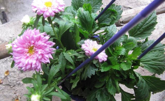 hoa cúc thúy