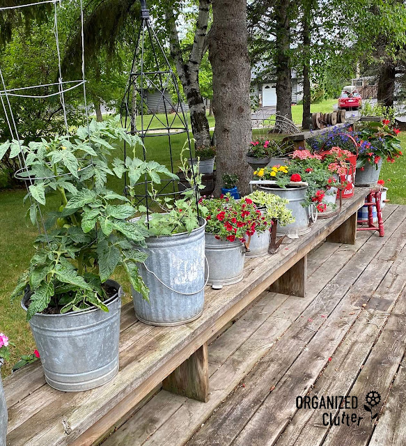 Photo of buckets of annuals in buckets on the deck