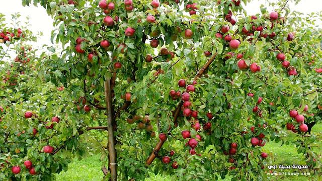 تعرف على فوائد التفاح ومعلومات عن شجرة التفاح والقيمة الغذائيه