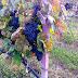 Melirik Perkebunan Anggur di Thailand