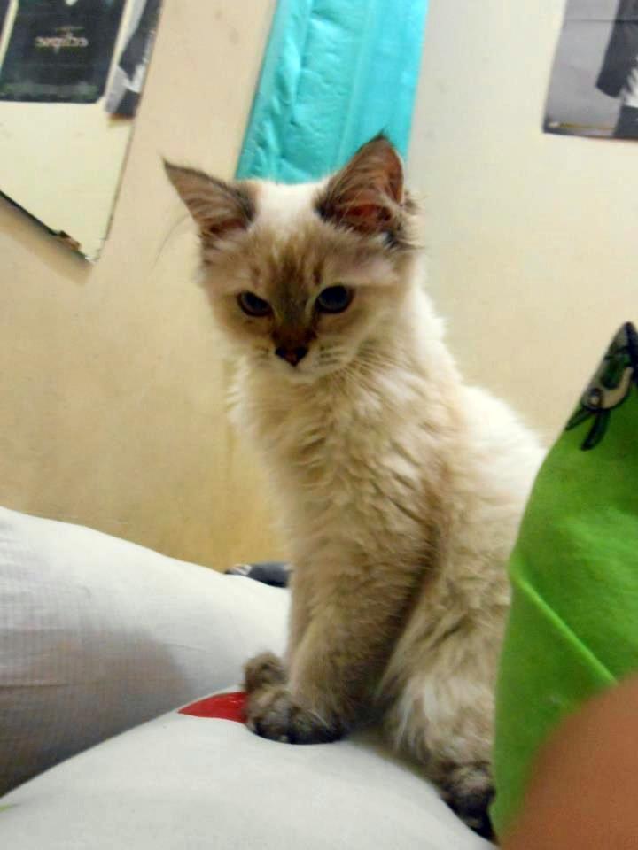 Jual Kucing Hutan Palembang Jual Buaya Dan Kucing Hutan