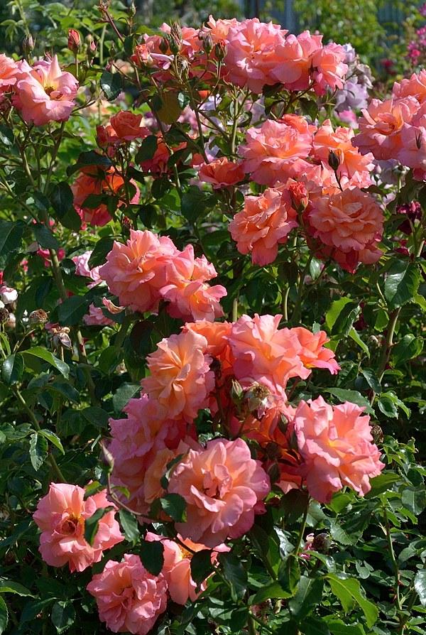 Freisinger Morgenrote роза фото