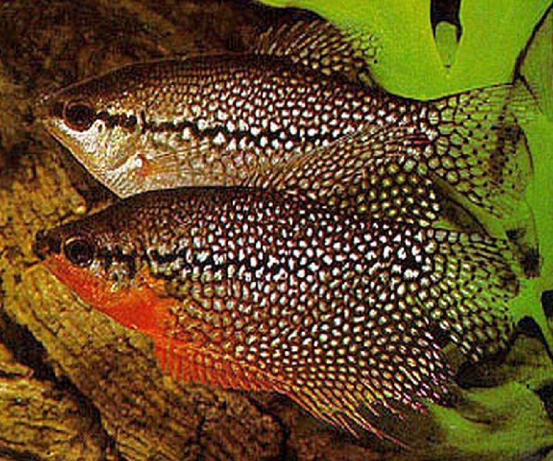 jenis ikan sepat hias